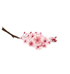cherry blossoms isolated on white background vector image