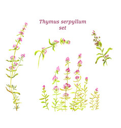 watercolor thyme set herbal tea for health vector image