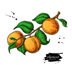 apricot branch drawing hand drawn isolated vector image