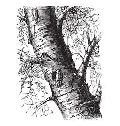 White birch engraving vector
