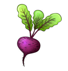 colorful sketch style beet vector image