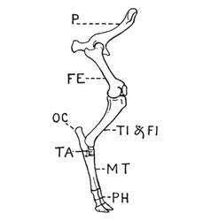 Leg of ox vintage vector
