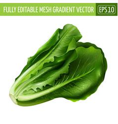 Lettuce on white background vector