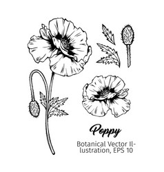 poppies botanical black ink sketches set vector image
