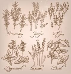 Set of essential herbs vector