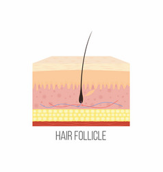 hair follicle human skin layers with hair vector image