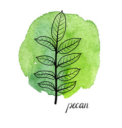 Leaf of pecan tree vector