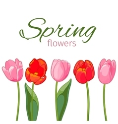 Pink and red tulips on white background vector image