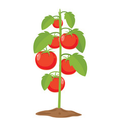 of tomatoes vector image