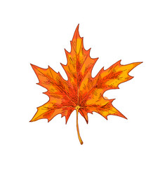 orange maple leaf isolated on a white background vector image