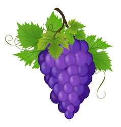 Bunch of a grapes vector image