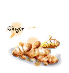 ginger watercolor delicious icon vegetable vector image