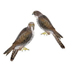 Two seated falcons vector