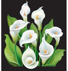 Bouquet of White Calla lilies on black background vector image vector image