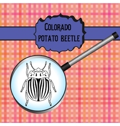 insect in magnifier colorado potato beetle vector image