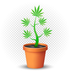 cannabis plant grows in flowerpot vector image