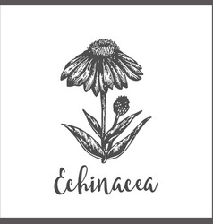 echinacea purple plant hand drawn sketch vector image