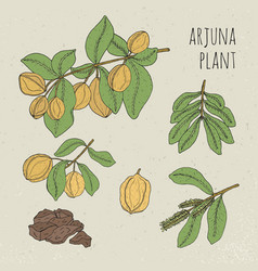arjuna medical botanical ayurvedic tree plant vector image
