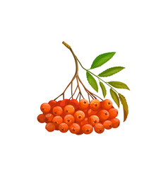 Rowanberry fruits or berries icon food garden vector