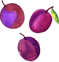 watercolor drawing plums vector image