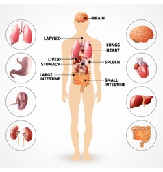 Human Anatomy Organs vector