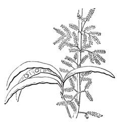 Acacia tree vintage vector