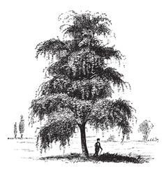 Birch tree vintage engraving vector image vector image