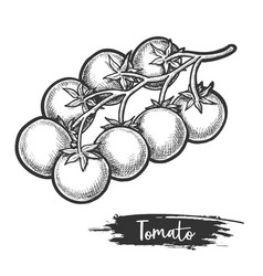 sketch tomato branch with fetus vegetable vector image