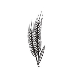 wheat ears sketch vintage wheats organic grains vector image