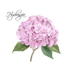 hydrangea pink realistic vector image