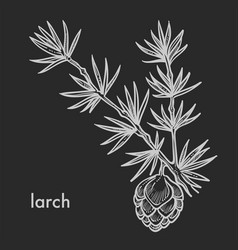 larch cone with needle leaves branch hand drawn vector image
