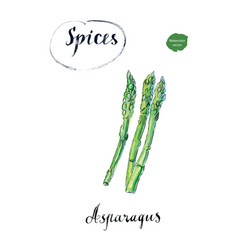 watercolor fresh green asparagus vector image