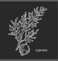 Cypress tree branch with cone and leaves hand vector