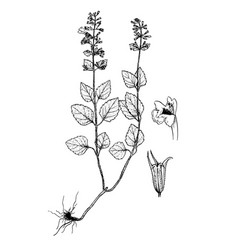 calamintha menthifolia gravures vector image