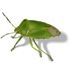 stink bug vector image