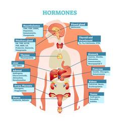 human body hormones diagram vector image vector image