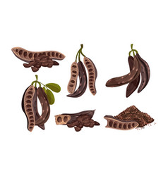 Carob plant edible pods isolated on white vector