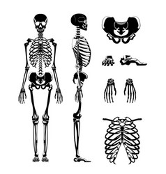 silhouette of human skeleton anatomy vector image vector image