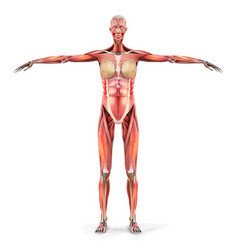 Human anatomy body muscles a woman ill vector