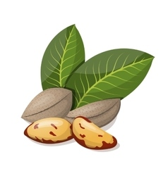 Brazil nuts with leafs isolated on white vector image vector image