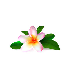 Realistic pink plumeria flower with green leaves vector