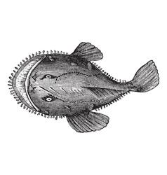 American anglerfish engraving vector image vector image