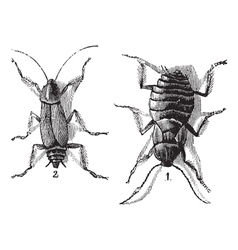 Cockroaches engraving vector