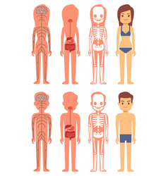 male and female skeleton digestive and nervous vector image