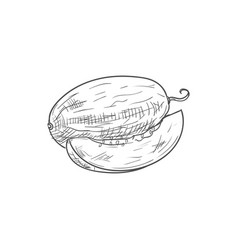 Ripe melon fruit vector