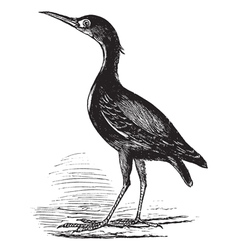 Eurasian Bittern vintage engraving vector image