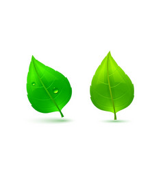 two green leaves vector image vector image