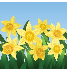 blooming daffodils vector image