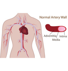Artery system in human body vector