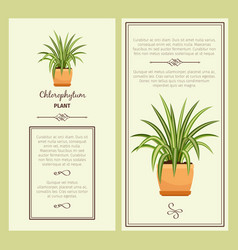 greeting card with chlorophytum plant vector image